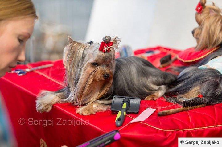 Проживание в Черногории: Фотообзор с международной выставки собак в Черногории «BAR Adriatic Cup 2015»