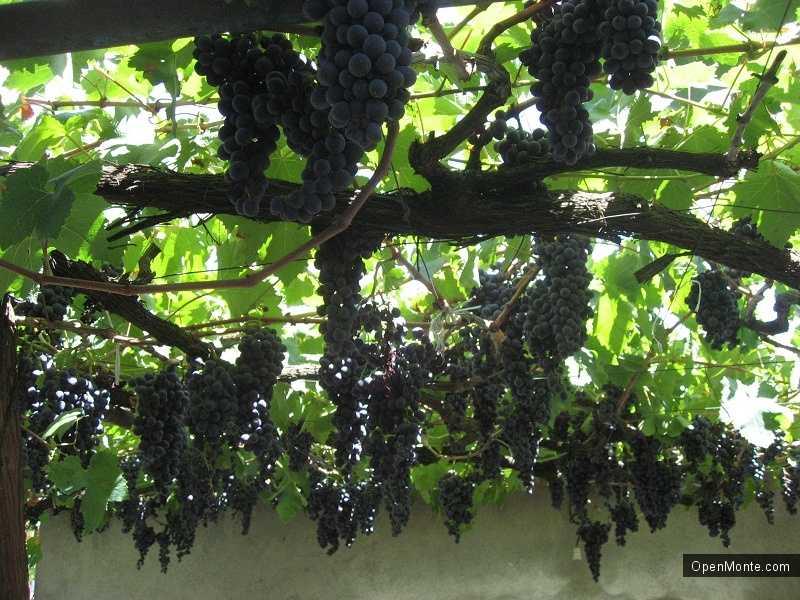 Новости Черногории: Владельцы виноградников в Черногории не могут продать урожай