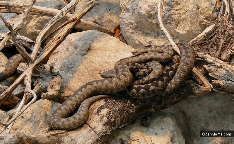 О Черногории: Змеи в Черногории