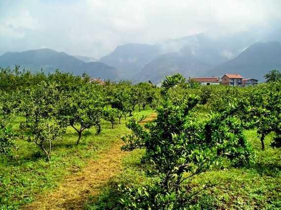 Новости Черногории: Куда пропадают гектары фруктовых садов в Черногории?